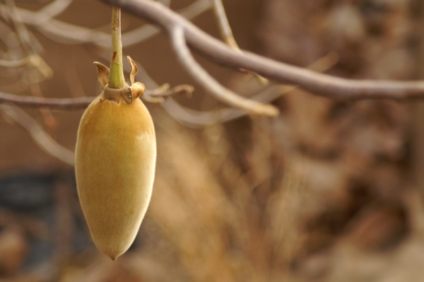 Fruit of a boab tree
