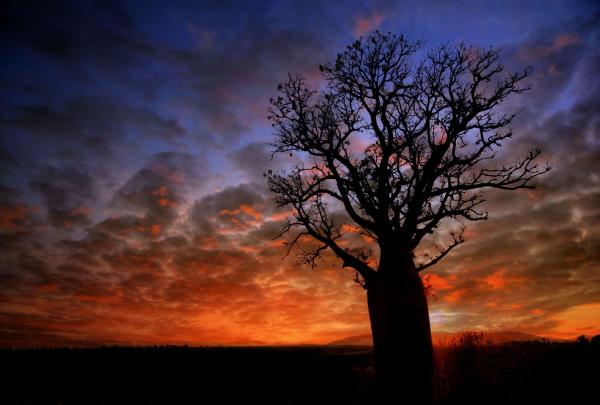 A boab tree in Kimberly, Australia