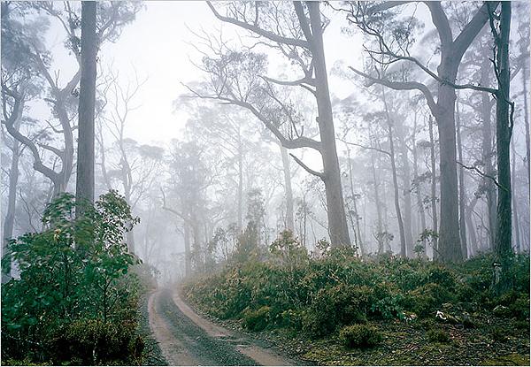 A Eucalyptus forest in Ben Lomond