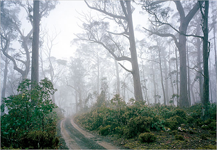A Eucalyptus forest in Ben Lomond