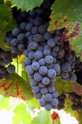 Willamette Valley Grapes