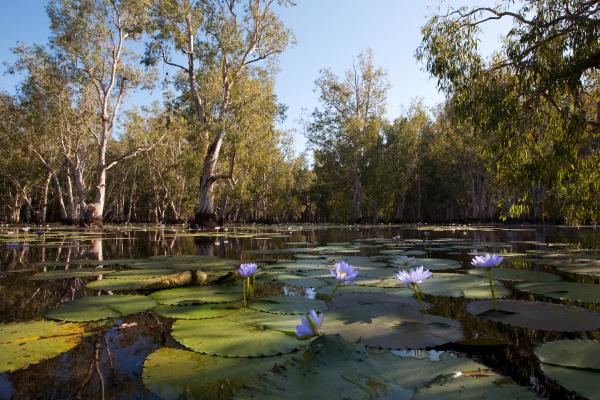 Mangrove in Kakadu