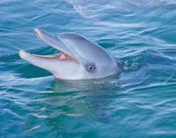 A Dolphin at Monkey Mia