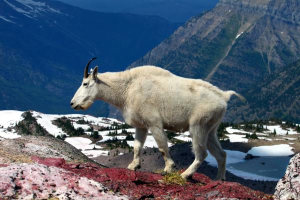 A Mountain Goat in Glacier