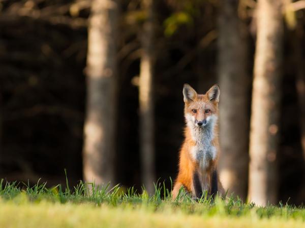 A Red Fox