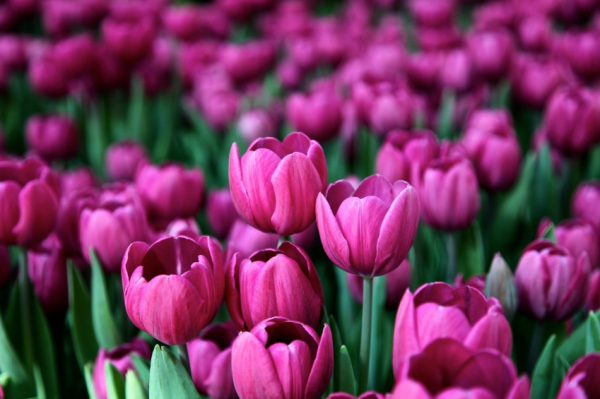 Spring tulips in the Northern Hemisphere