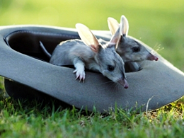 Bilbies, photo courtesy of The Featured Creature