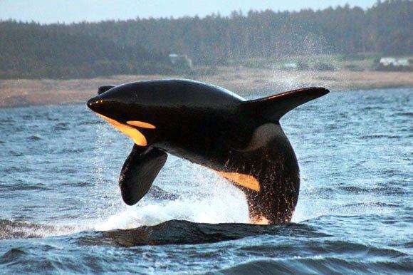 An orca in full breach
