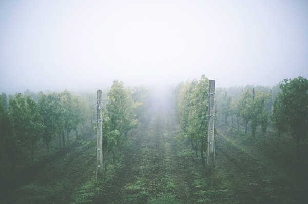 vineyard in oregon thinkstock