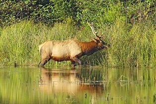 elk redwoods