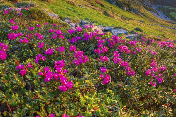 california rhododendrons