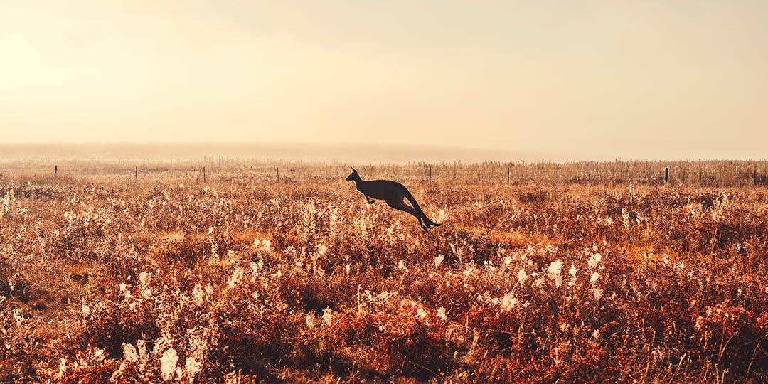 canberra-australia-kangaroo-gmedical-istock.jpg