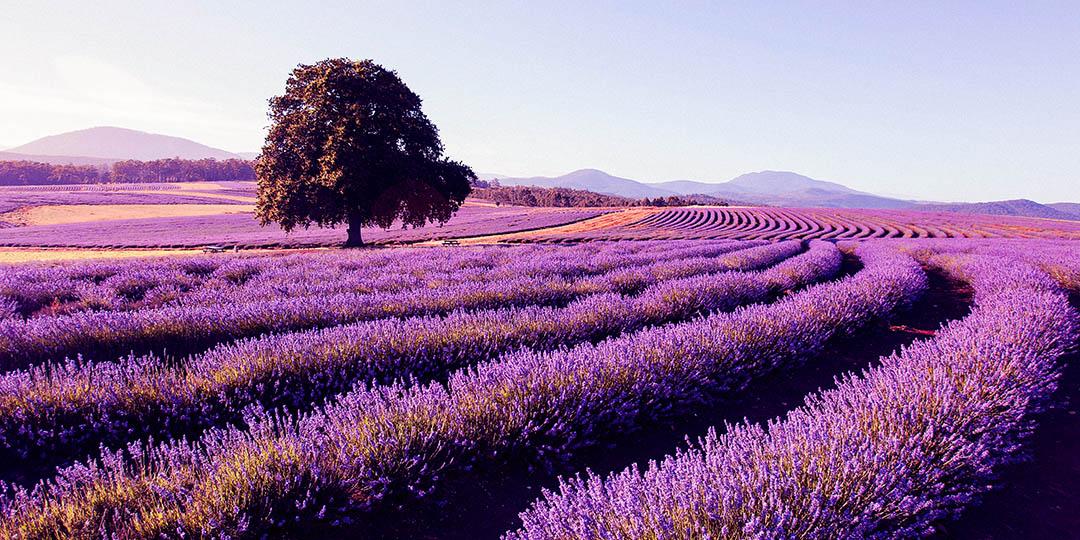 lavender-farm-tasmania-locum-tenens.jpg